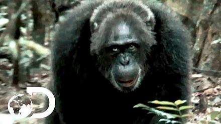 Najbrutalniejsze dotąd odkryte stado szympansów