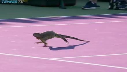 Legwan wbiega na kort podczas prestiżowego turnieju tenisa
