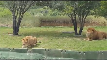 Śmiali się z lwów w zoo, ale tylko do czasu