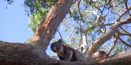 Czy wiesz, jak ryczy miś koala?
