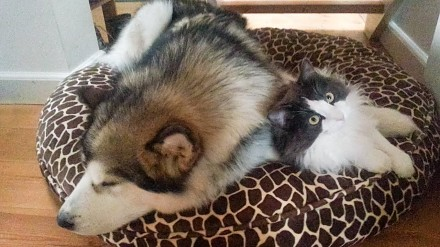Alaskan malamut kontra kot norweski leśny