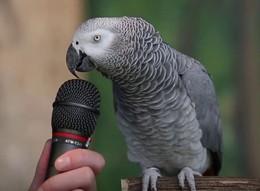 Genialna papuga naśladuje różne dzwięki