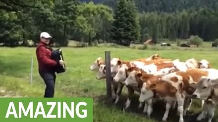 Krowy, które uwielbiają muzykę z akordeonu