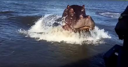 Ogromny hipopotam szarżuje na łódź
