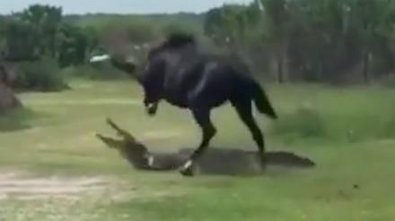 Koń w pojedynku z aligatorem