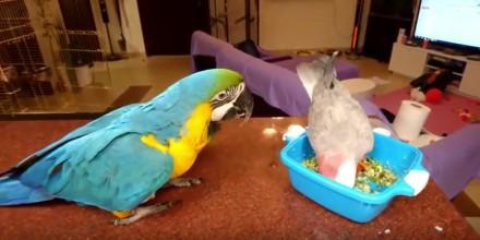 Przygoda pewnej papugi przy jedzeniu
