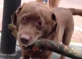 """Labrador z """"patykiem"""" wraca do domu"""