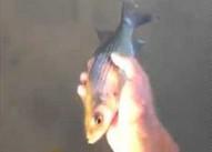 Wypuszczona ryba wraca do ręki. Czyżby jednak nie chciała wolności?