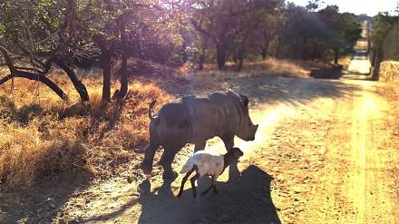Młody nosorożec, który myśli, że jest owcą