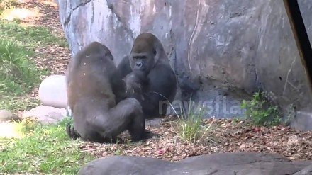 Jeden goryl chce sie bawić, drugi pokazuje mu faka