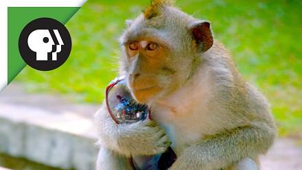 Małpy nauczyły się kraść i handlować ukradzionymi rzeczami