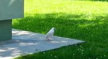Biały kruk, niezwykle rzadki okaz, uwieczniony w Rosji