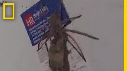 W Australii to pająki polują na myszy