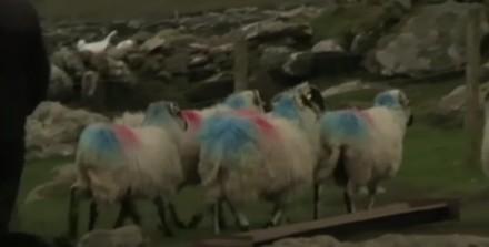 Owce bawią się w chowanego?