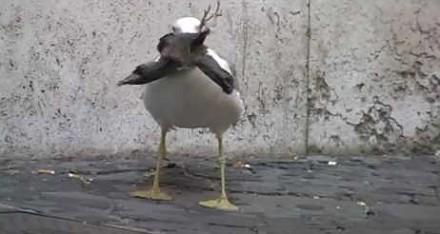 Mewa połyka gołębia w Rzymie