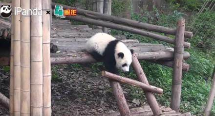 Dlaczego pandy to zagrożony gatunek?