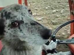 O psie, który jeździł ciągnikiem