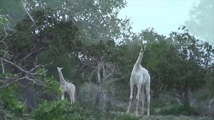 Białe żyrafy istnieją! Rzadkie zwierzęta sfilmowane w Kenii