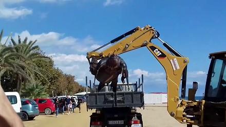 Żółw-gigant z Hiszpanii i jego nietypowy transport