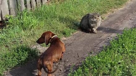 Jamnik próbuje przegonić koci gang