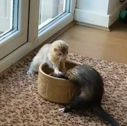 Dwie fretki zachowują się jak typowe rodzeństwo