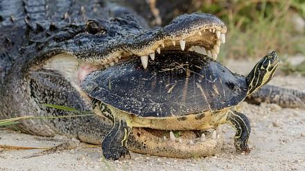 Aligator próbuje zjeść żółwia