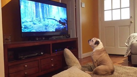 Bulldog próbuje obronić Leonardo DiCaprio przed atakiem niedźwiedzia