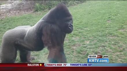 Szyba w zoo pęka po uderzeniu wściekłego goryla