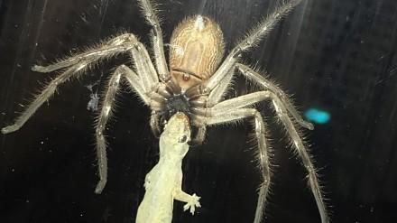 Wielki pająk wcina gekona na drzwiach domu