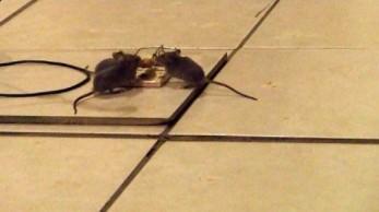 Ile pułapek potrzeba, żeby ubić trzy myszy?