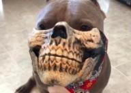 Pitbull w masce wygląda jeszcze bardziej przerażająco
