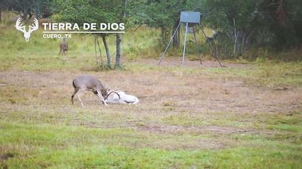 Jak baran z jeleniem sobie coś wyjaśniali