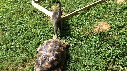 Żółw to urodzony morderca. Tak poluje na kota
