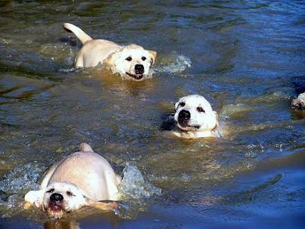 Psi ojciec cierpliwe uczy swoje pociechy pływać