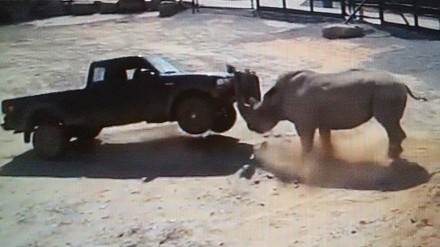 Kompilacja ataków prawdziwego mordercy z Afryki - nosorożca