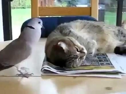 Odważny ptaszek budzi leniwego kota