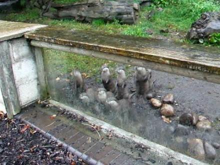 Głodne wydry nie mogą się doczekać na jedzenie