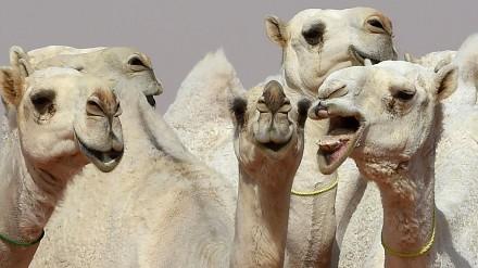 Wielbłądzi konkurs piękności w Arabii Saudyjskiej