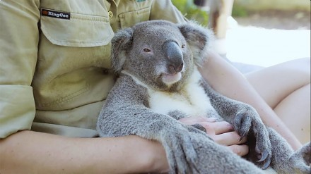 Najbardziej wyluzowana koala na świecie