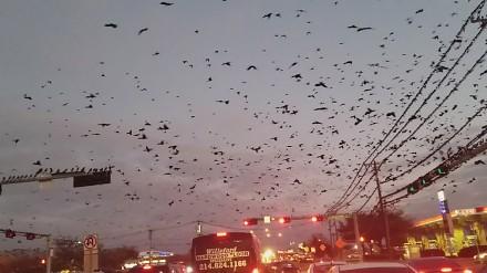 Ptasi armageddon w Dallas