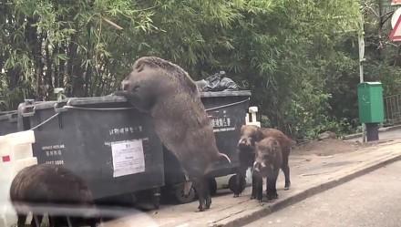 Pigzilla - olbrzymi dzik grasujący w Hongkongu
