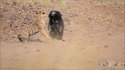 Walka tygrysa z niedźwiedziem