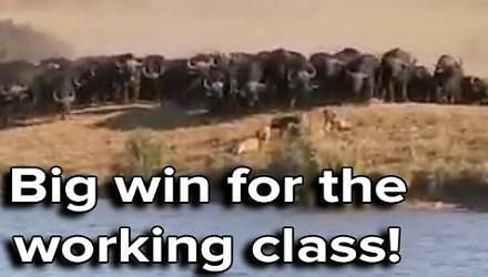 Ozzy Man Reviews komentuje pojedynek afrykańskich bawołów z lwami