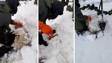 Farmerowi zgubiła się owca, wykopał ją spod grubej warstwy śniegu
