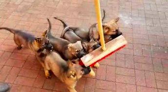 Czerwona miotła - psi odpowiednik czerwonego laserka
