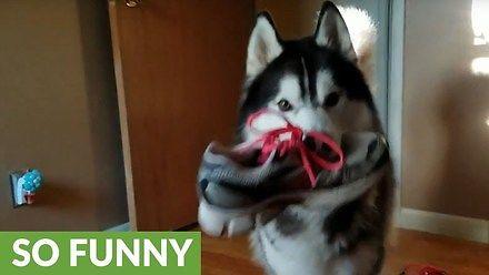 Mądry husky kłóci się z właścicielką o kradzież buta