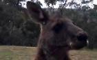 Kangur dobija się do domu w Australii