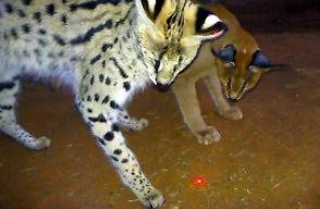 Afrykańskie koty i czerwona kropka lasera