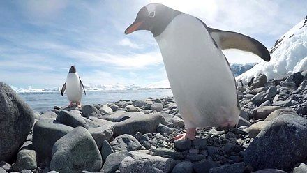 Pingwiny to złodzieje. Chciały ukraść kamerę