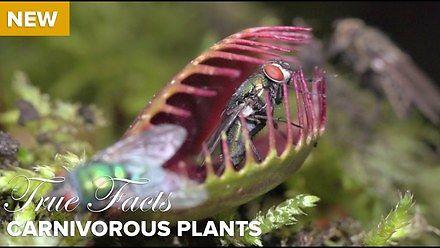 Prawdziwe Fakty o mięsożernych roślinach, najnowszy film autorstwa legendarnego Zefranka